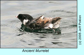 Ancient Murrelet, photo by Jeff Poklen