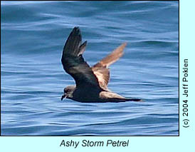 Ashy Storm Petrel, photo by Jeff Poklen