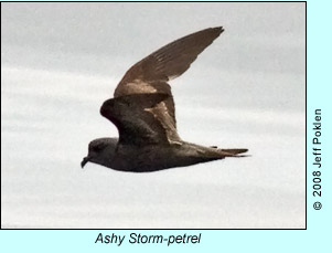 Ashy Storm-petrel, photo by Jeff Poklen