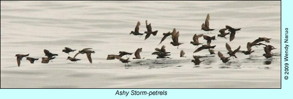 Ashy Storm-petrels, photo by Wendy Naruo