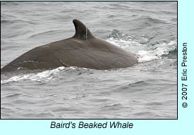 Baird's Beaked Whale, photo by Eric Preston
