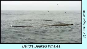 Baird's Beaked Whales photo by Roger Wolfe