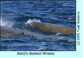 Baird's Beaked Whales, photo by Todd Easterla