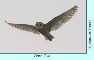 Barn Owl observed offshore, photo by Jeff Poklen