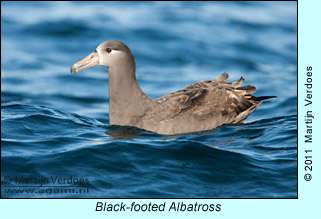 Black-footed Albatross  photo by Martijn Verdoes
