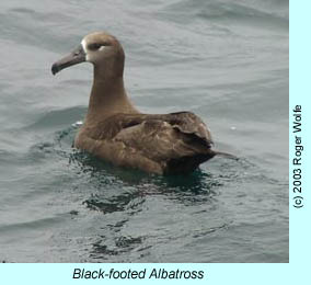 Black-footed Albatross, photo by Roger Wolfe.