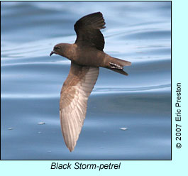 Black Storm-petrel, photo by Eric Preston