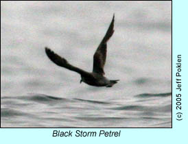 Black Storm Petrel, photo by Jeff Poklen