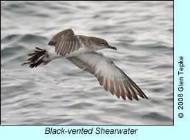 Black-vented Shearwater photo by Glen Tepke