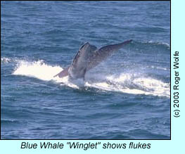 Blue Whale diving, photo by Roger Wolfe