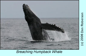 Breaching humpback whale, photo by Don Roberson