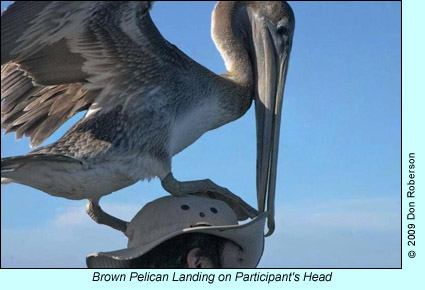 Brown Pelican landing on seabird cruise trip participant's head