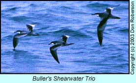 Buller's Shearwaters photo by Don Roberson