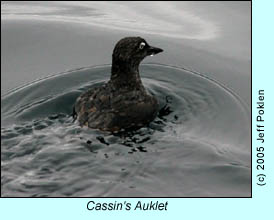 Cassin's Auklet, photo by Jeff Poklen