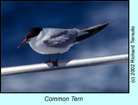 Common Tern photo by Richard Ternullo