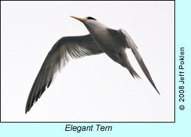 Elegant Tern, photo by Jeff Poklen