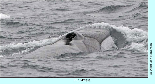 Fin Whale photo by Don Roberson