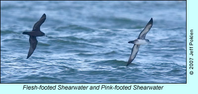 Flesh-footed and Pink-footed Shearwater, photo by Jeff Poklen