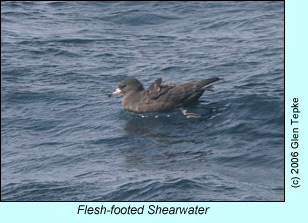 Flesh-footed Shearwater, photo by Glen Tepke