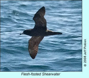 Flesh-footed Shearwater, photo by Jeff Poklen