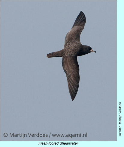 Flesh-footed Shearwater, photo by Martijn Verdoes