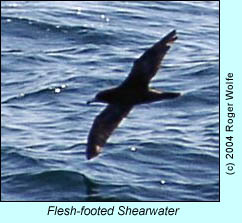 Flesh-footed shearwater, photo by Roger Wolfe