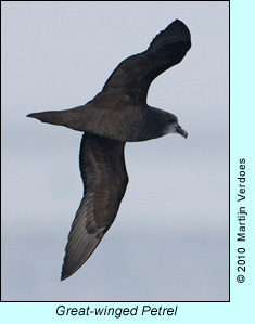 Great-winged Petrel, photo by Martijn Verdoes
