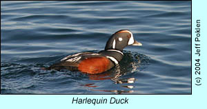 Harlequin Duck, photo by Jeff Poklen