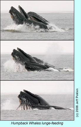 Humpback whales lunge-feeding, photo by Jeff Poklen