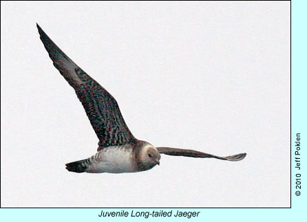 Juvenile Long-tailed Jaeger, photo by Jeff Poklen