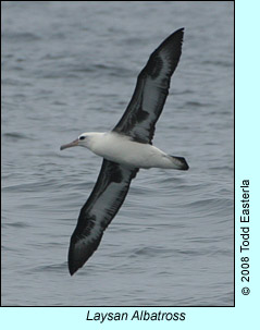 Laysan Albatross photo by Todd Easterla