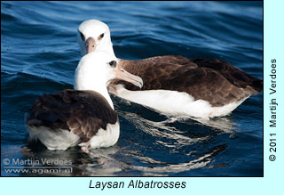 Laysan Albatrosses,  photo by Martijn Verdoes