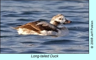Long-tailed Duck, photo by Jeff Poklen