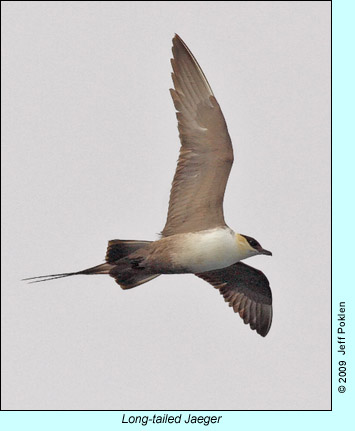 Long-tailed Jaeger photo by Jeff Poklen