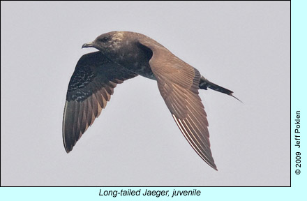 Juvenile Long-tailed Jaeger photo by Jeff Poklen