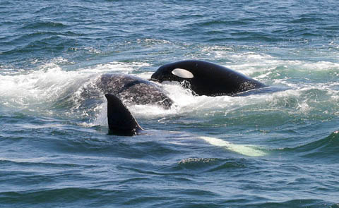 Killer Whales attacking Gray Whale, photo by Jeff Poklen