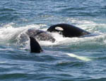 Killer Whales attacking Gray Whale