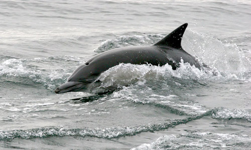 Long-beaked Common Dolphin photo by Jeff Poklen