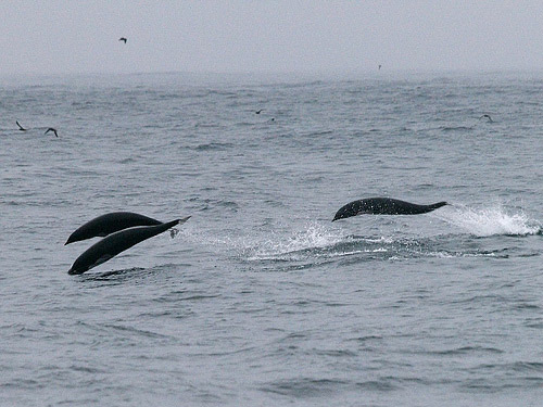 Northern Right Whale Dolphins photo by Chris Hartzell