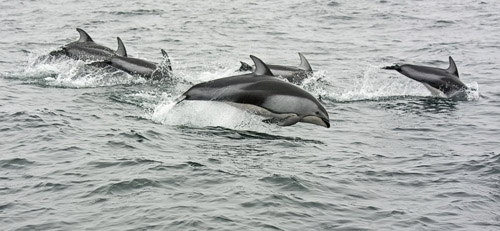 Pacific White-sided Dolphins photo by Jeff Poklen