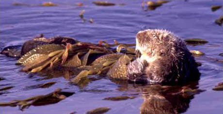 Sea Otter photo by Nancy Black