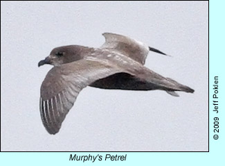 Murphy's Petrel photo by Jeff Poklen