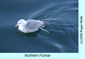Northern Fulmar, photo by Roger Wolfe
