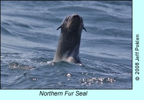 Northern Fur Seal, photo by Jeff Poklen