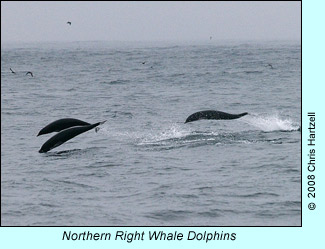 Northern Right Whale Dolphins, photo by Chris Hartzell