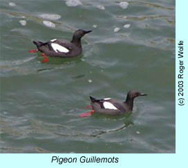 Pigeon Guillemots, photo by Roger Wolfe.