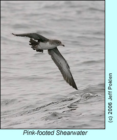 Pink-footed Shearwater, photo by Jeff Poklen