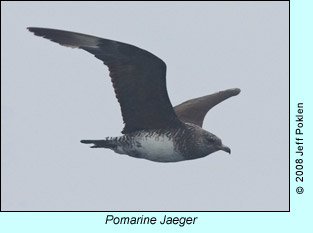 Pomarine Jaeger, photo by Jeff Poklen