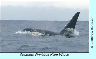 Southern Resident Killer Whale, photo by Don Roberson