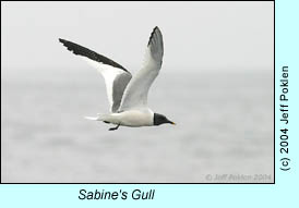 Sabine's Gull, photo by Jeff Poklen